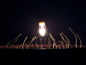 Corn seedlings bend toward the light.