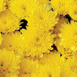 Steps to help your garden mums through winter in