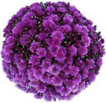 Garden mum Pomona Violet