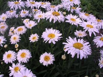 leucanthemum superbum shasta daisy