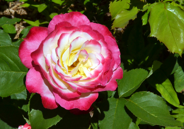 rose from Albion garden
