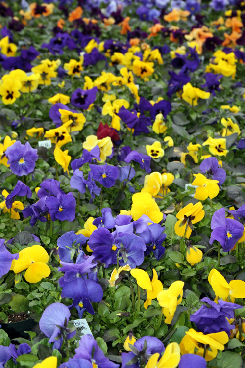 winter pansies from Mischlers