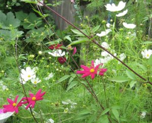 Cosmos September 2011 in Amherst NY