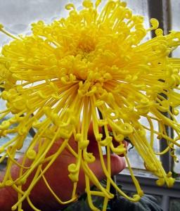 Golden Rain chrysanthemum in Buffalo NY