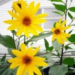 Jerusalem artichole or sunchoke flowers in Amherst NY