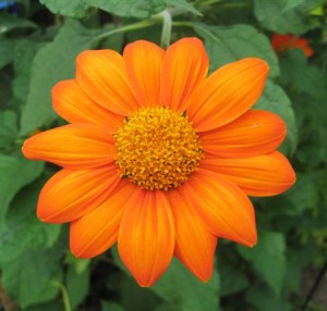 Mexican Sunflower attracts Monarch Butterflies in Amherst NY