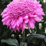 Purple Light chrysanthemum in Buffalo NY