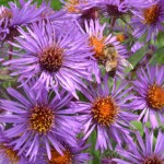 asters in Amherst NY garden autumn