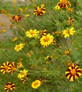 Jolly Jester marigolds in Hamburg NY