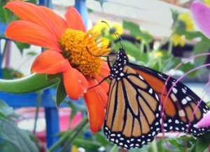 monarch butterfly on Mexican sunflower in Amherst NY