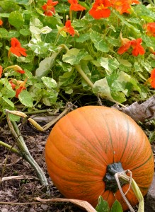 pumpkin and nasturtium in Hamburg NY