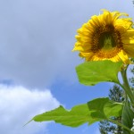 sunflower in Amherst NY