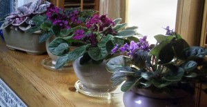 African violets photographed by Tina Schlau