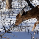 deer eating in Buffalo NY winter Jan 2011