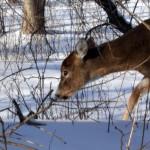 deer eating in Buffalo NY winter Jan 2011