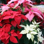 poinsettias at Mischlers Florist and Greenhouse
