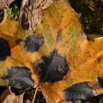 tar spot on leaves in Buffalo NY