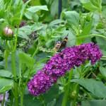 butterfly bush in Buffalo NY