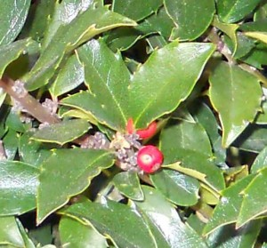 closeup hardy holly  from Lockwood's in Hamburg NY