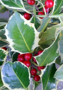 variegated holly from Lockwood's Greenhouses in Hamburg