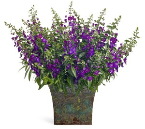 Angelonia Angelface Dark Violet from Proven Winners