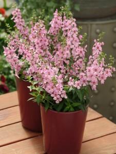 Serena lavender pink angelonia