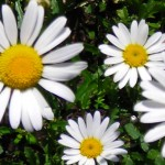 gardening tips Buffalo NY daisy photo