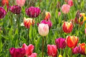 Spring tulips in the sunny rain