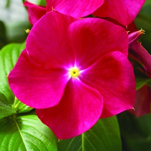 Annual vinca Nirvana Red Syngenta grows in Buffalo NY
