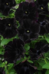 Black Velvet petunia sold in Buffalo NY