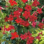 Mandevilla Pretty Crimson in Buffalo NY area