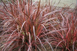 Pennisetum 'Fireworks' sold in Buffalo NY area
