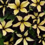 'Phantom' petunia sold in Buffalo NY area