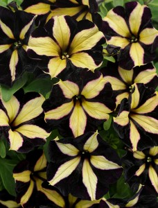 Black Petunias Annuals That Grow In Dry Or Shady Areas In