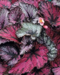 Rex begonia grows in Buffalo NY area