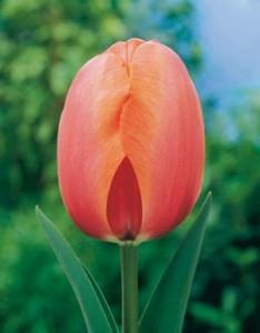 Tulipa Darwin Hybrid 'Apricot Impression' Netherland Bulb Company