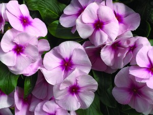 'NIrvana Pnk Blush' vinca grows in Buffalo NY area