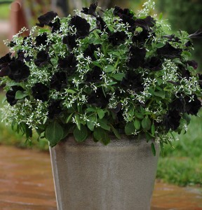 Black petunias with euphorbia. Grow in Buffalo NY area