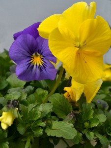 cold wave pansy from Mischler's in Williamsville NY
