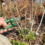 cut dead perennials in spring in Buffalo NY