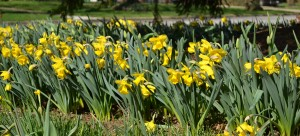 daffodils in Amherst NY