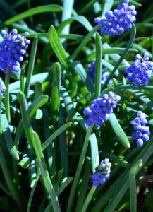 grape hyacinth March 2012 Amherst NY