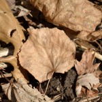 leaves for garden compost in Buffalo NY