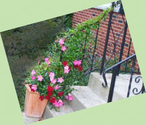 mandevilla twining up railing in Buffalo NY area