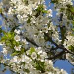 plum tree in Buffalo NY area