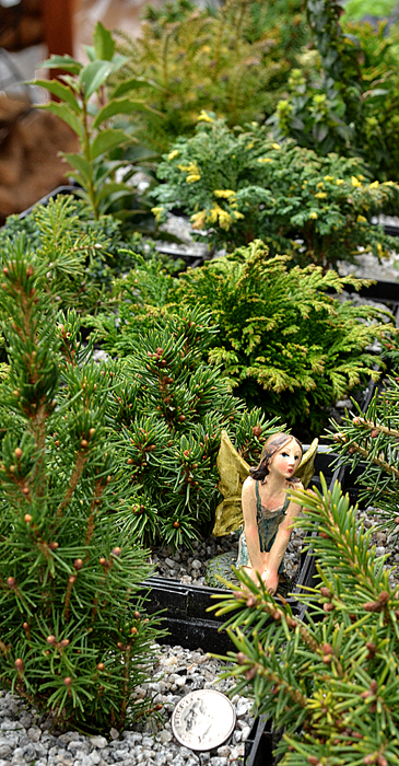 trees for fairy gardens in Buffalo NY area