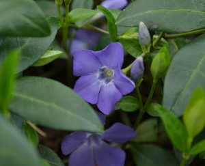 vinca groundcover in Amherst NY