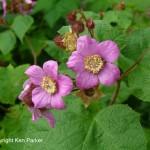 Rubus ordoratus by Ken Parker