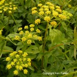 Zizia aurea -Golden Alexanders by Ken Parker