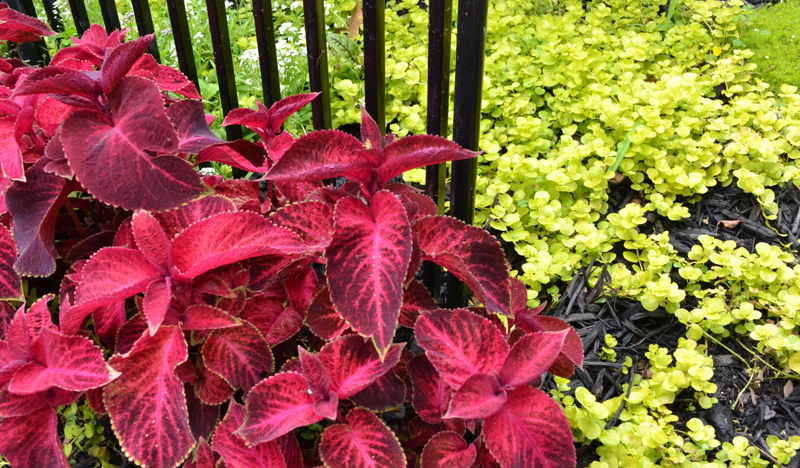 coleus and creeping jenny in Buffalo NY